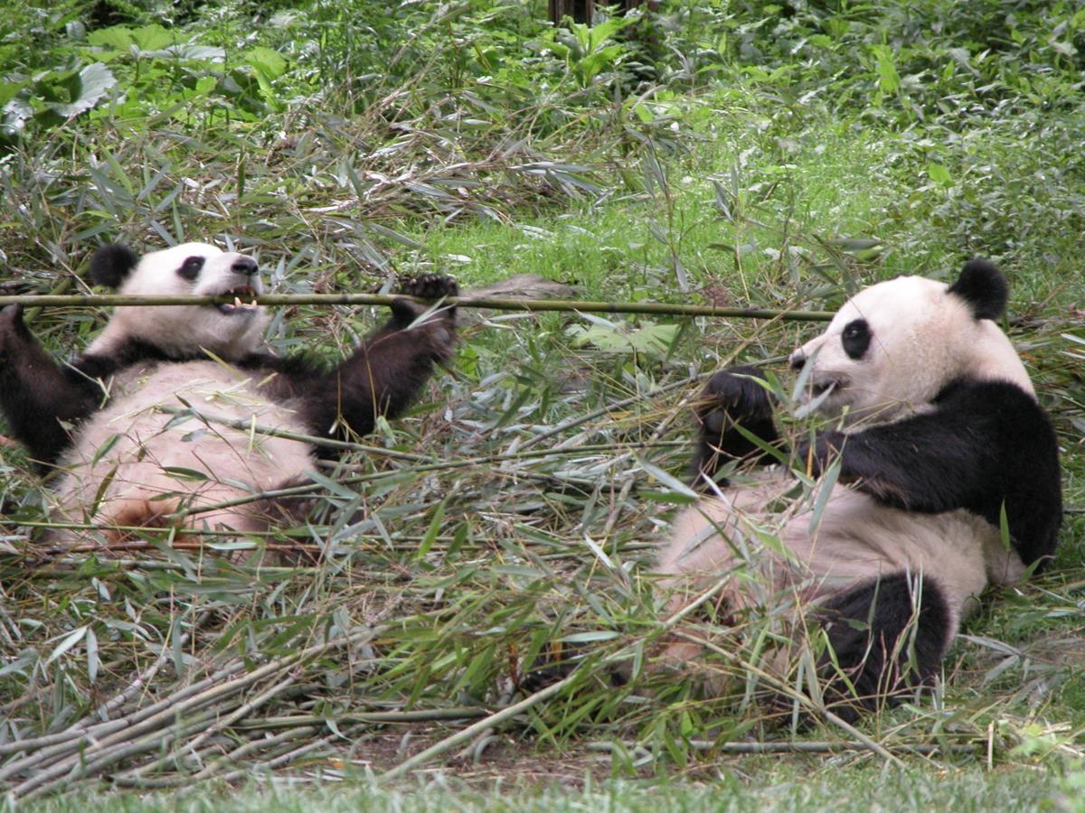 Alla ricerca del Panda