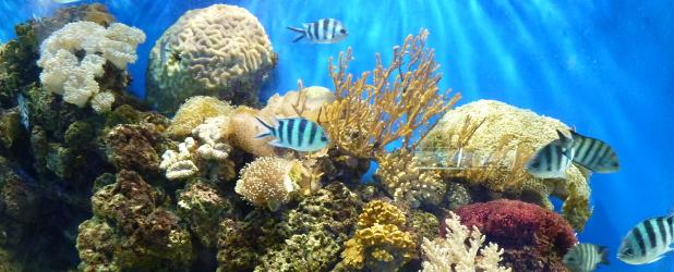 Adotta un corallo presso il MERC Isola di Gaya